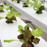 """A channel system, used for lettuce-family plants, uses the """"nutrient film technique"""" and can grow more than 10,000 heads of lettuce annually. Photo by Noelle B. Bloom."""
