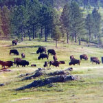 """This is just a portion of the herd,"" Thomas says of the buffalo she encountered in the Crazy Head Springs area. ""This herd was just massive. Not as big as (herds) have been, but for me seeing live, wild buffalo for the first time, it was a lot."""